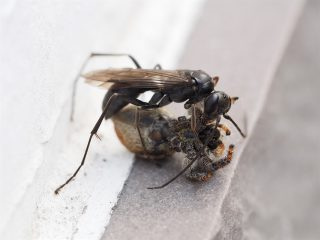 ヒメクモバチの仲間狩り(2016年5月20日)