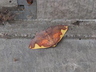 マエキトビエダシャク(2.3cm)