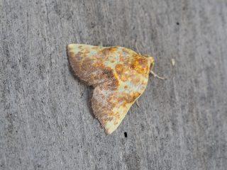 トビイロリンガ♂(1.5cm)