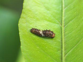 ナミアゲハ2齢幼虫(2017年5月12日)
