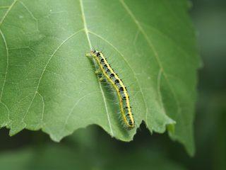 フタトガリアオイガ幼虫(2015年7月2日)