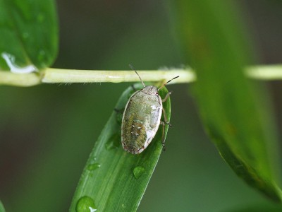 シロヘリカメムシ幼虫(2014年7月7日)
