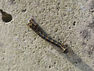 ウメエダシャク幼虫(2020年5月2日)