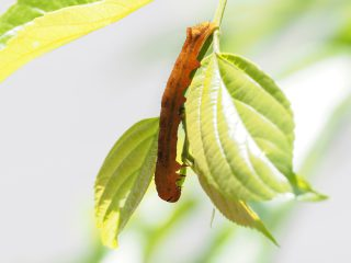 ヒロバモクメキリガ幼虫 (2018年5月12日)