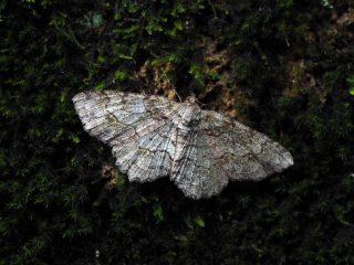 ヒロバウスアオエダシャク♀(4cm)