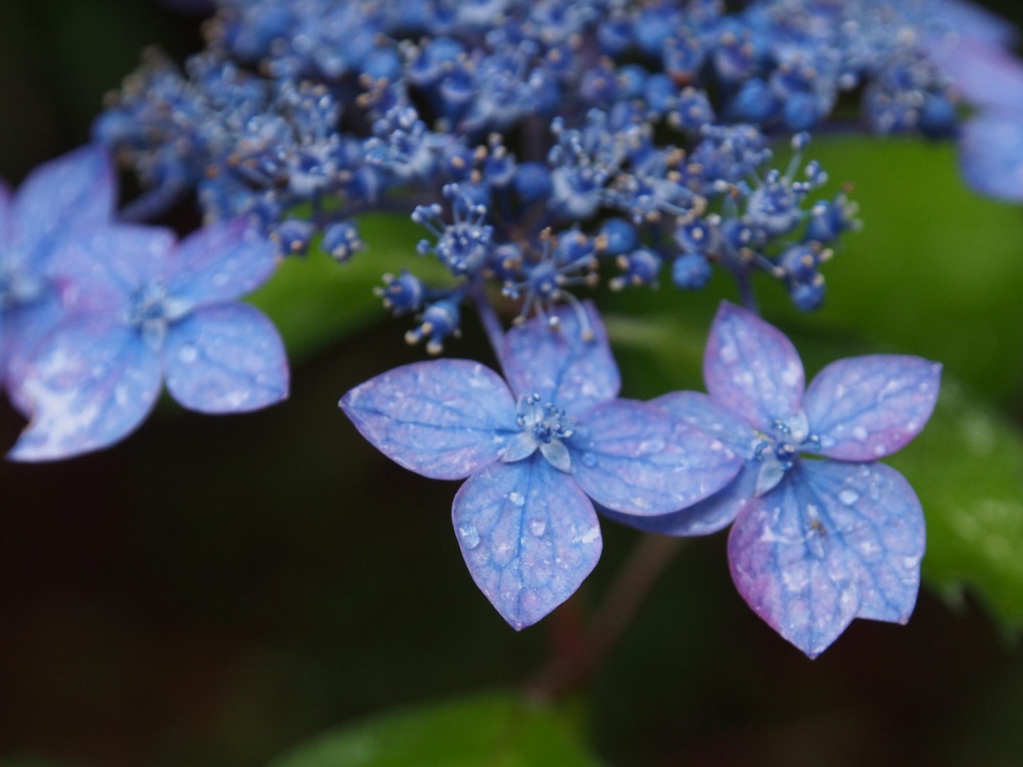 藍姫(ヤマアジサイ)