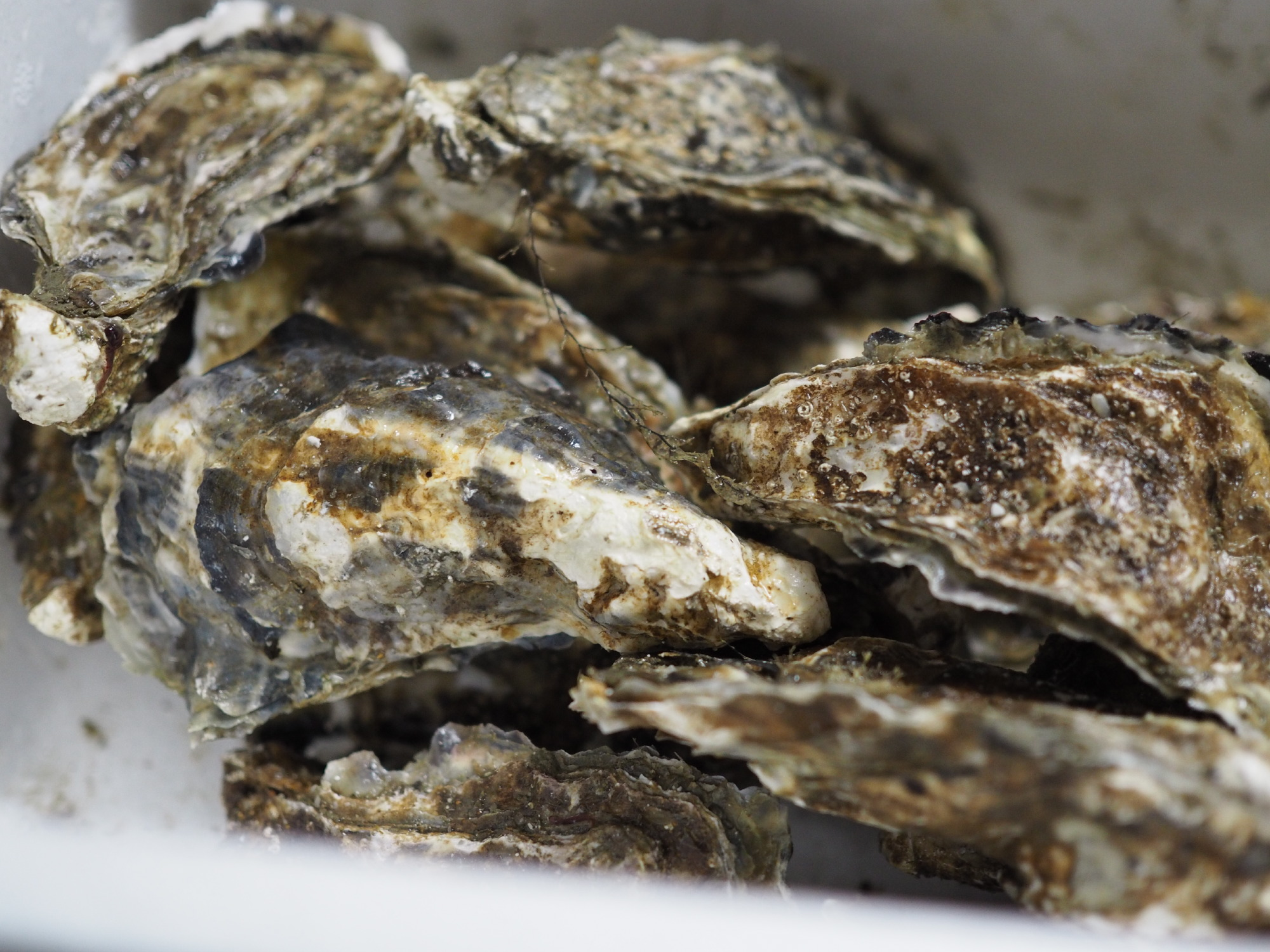 厚岸の牡蠣1