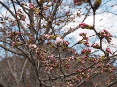 桜@植物園