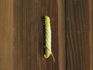 シモフリスズメ幼虫(2016年8月26)