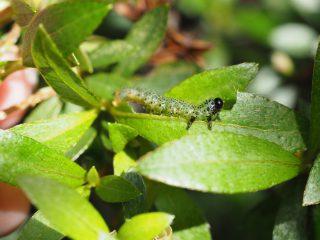 ルリチュウレンジ幼虫(2015年5月17日)