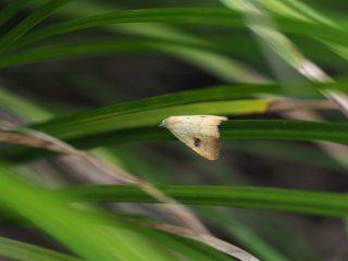 テンクロアツバ(1.3cm)