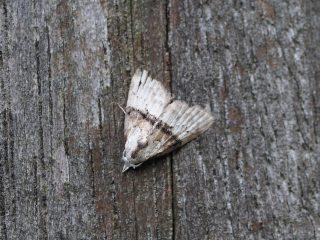 ソトジロコブガ(1cm)