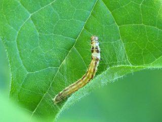 ムモンヒロバキバガ幼虫(2017年5月27日)