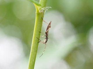 ニセヒメクモヘリカメムシ幼虫(2018年6月18日)