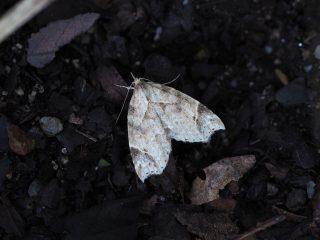 ウスモモイロアツバ(1.8cm)