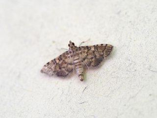 サツマキノメイガ(1.2cm)