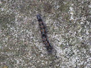 ヨツボシホソバ幼虫(2016年5月6日)