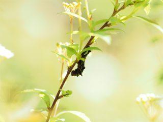 キイロトゲエダシャク幼虫(2016年4月23日)