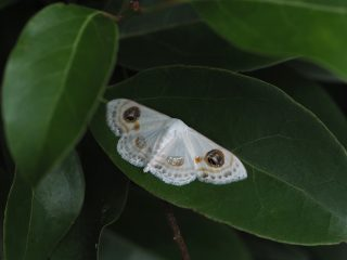 クロスジオオシロヒメシャク(2.8cm)