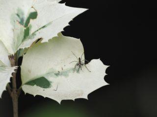 スジアカハシリグモ