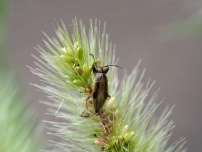 ヒゲナガカメムシ幼虫(2014年9月19日)