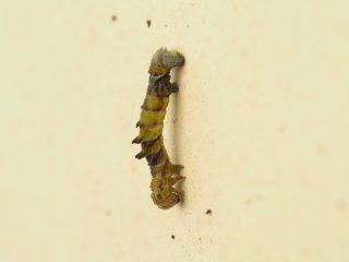 ヒメカギバアオシャク幼虫(2019年4月18日)