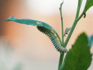シモツケマルハバチ幼虫(2017年5月23日)