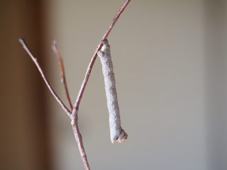 ヨモギエダシャク幼虫(2014年10月14日)