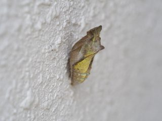ナミアゲハ蛹(2013年6月17日)