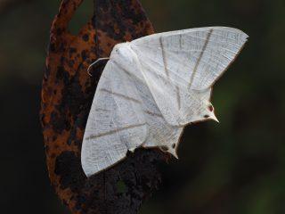 ウスキツバメエダシャク(4.5cm)