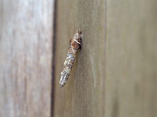 クロツヤミノガ幼虫(2016年4月12日)