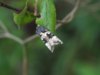 マエグロシラオビアカガネヨトウ(3cm)