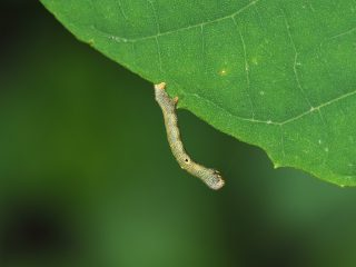 シロテンエダシャク幼虫(2016年5月30日)