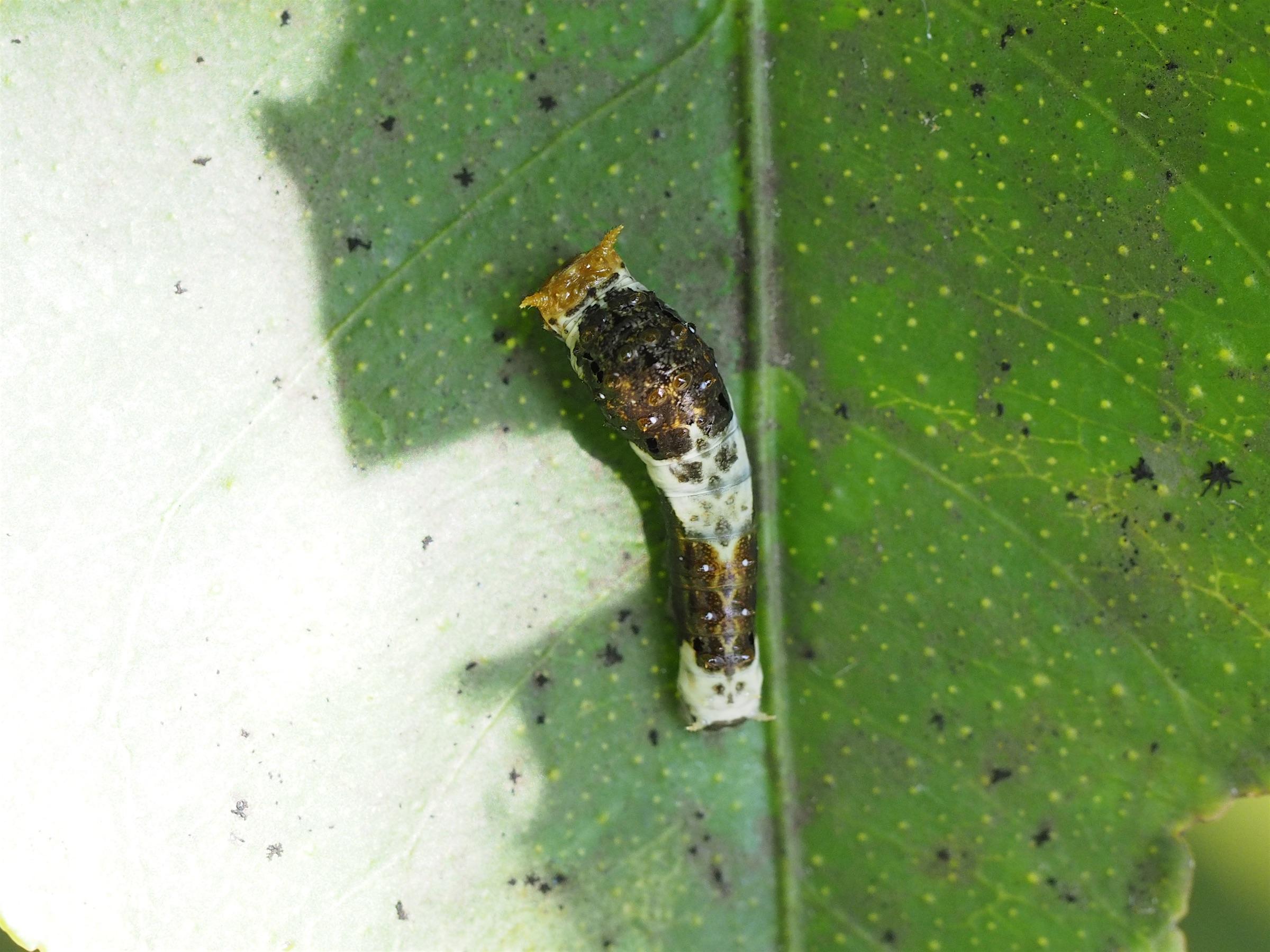 クロアゲハの幼虫(2016年8月31日)