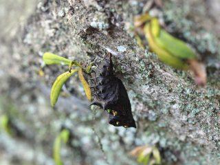 ツマグロヒョウモン蛹(2016年4月16日)