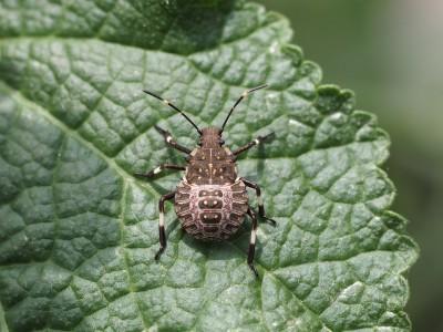 クサギカメムシ4齢幼虫(2014年6月30日)