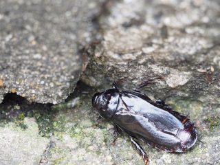 オオゴキブリ(2014年8月18日)