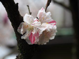 ハナモモ「源平」(2013年4月7日)