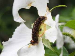 ウスクロモクメヨトウ幼虫(2015年5月9日)