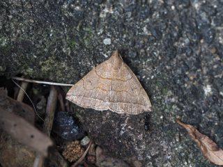 ツマオビアツバ(1.8cm)