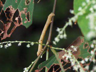 ヨモギエダシャク終齢幼虫(2015年9月10日)