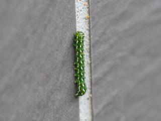 ケンモンキリガ幼虫(2017年7月4日)