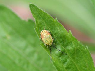 ヘラクヌギカメムシ(幼虫)