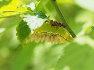オオシマカラスヨトウ幼虫寄生(2015年5月10日)
