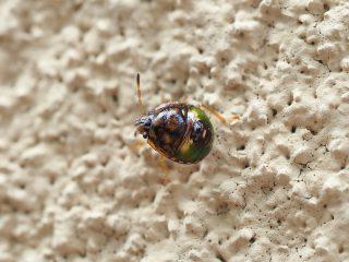 チャバネアオカメムシ1齢幼虫(2017年6月28日)