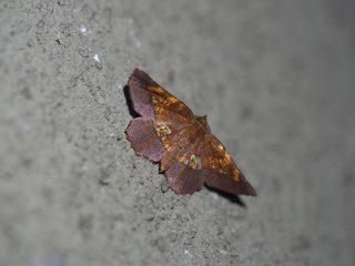 キバラエダシャク(3.3cm)